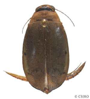 Aquatic beetles dytiscid adult legs larvae