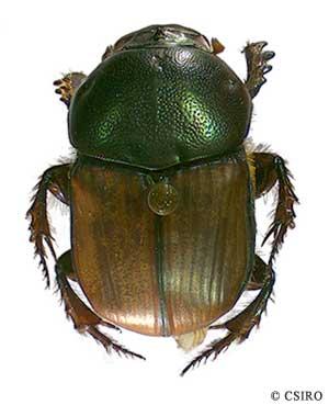 scarabaeidae scarab beetles