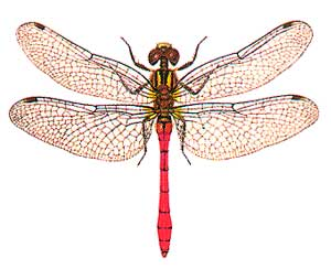 Odonata - dragonflies and damselflies